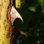 5-thorn